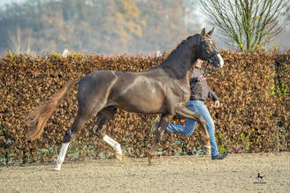 Two new Stallions in Lodbergen - Stallion Show is sold out