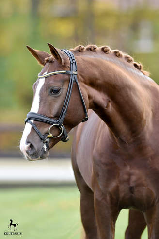 Munich-Riem: Stallion Days of the German Sport Horse studded with descendants of our stallions