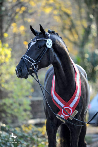 Münster-Handorf: For Romance I OLD the Sire of the Westphalian Champion Stallion