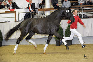 Münster-Handorf: Dante Weltino OLD Son Sold to State Stud