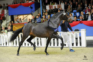 Vechta: Premium Colt by Follow Me OLD Has a 260,000 Euro Price Tag